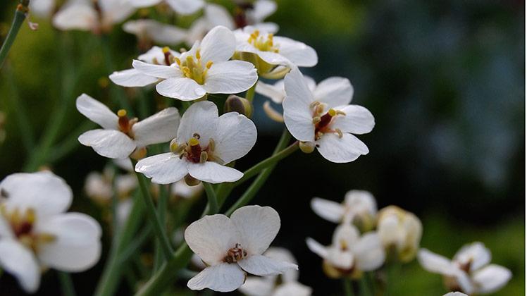 bloei_zeekool_bloemen