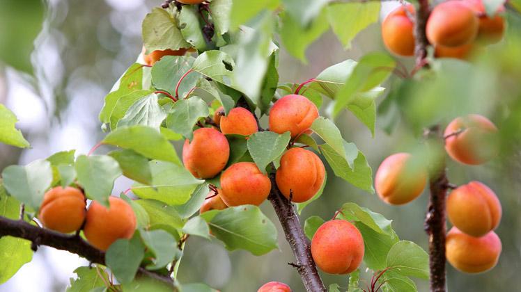 Abrikozenboom planten